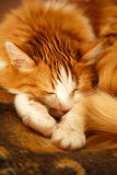 Sleeping red cat. Red cat rolled himself up into a ball stock photography