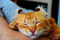 Sleeping red cat stock photography