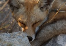 Sleeping red fox close up portrait royalty free stock image