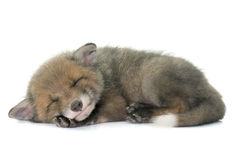 Sleeping red fox cub. In front of white background Royalty Free Stock Photography