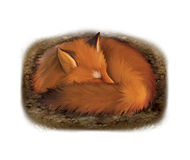 Sleeping red fox in its hole. Isolated realistic illustration on white background Royalty Free Stock Photography