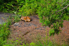 Sleeping Red Fox (Vulpes vulpes) Royalty Free Stock Images