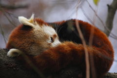Sleeping red panda Stock Photography