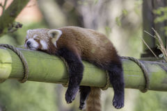 Sleeping Red Panda. Funny cute animal image. Sleeping Red Panda Ailurus fulgens. Funny cute animal image of a red panda asleep during afternoon siesta royalty free stock photography