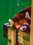 A sleeping red panda stock photo