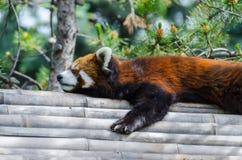Sleeping Red Panda. Resting red panda sleeping on a bamboo roof Stock Photos