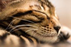 Sleeping red tabby kitten, close-up. Stock Photo