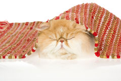 Sleeping red with white Persian under red rug Stock Photo