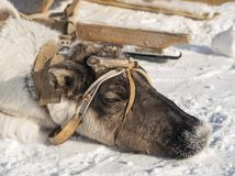 Sleeping reindeer Royalty Free Stock Images
