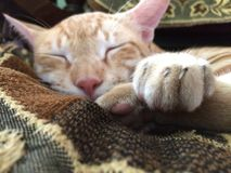 Sleeping and relaxing cat on a bed. Cute kitten focus shot Royalty Free Stock Images