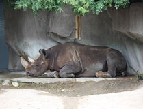 Sleeping Rhino Stock Images