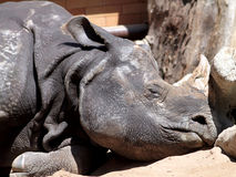 Sleeping rhino Stock Photos