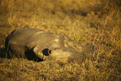 Sleeping Rhino Calf Stock Photography