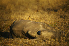 Sleeping Rhino Calf and Ox Pecker. A rhino calf I photographed on safari in South Africa, while his mother grazed nearby. A Red Billed Ox Pecker arrived on the royalty free stock images