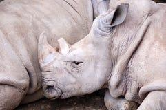 Sleeping rhino Royalty Free Stock Photography