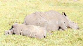 Sleeping Rhino - The Rhinoceros - Rhinocerotidae. Sleeping Rhino - A rhinoceros, often abbreviated to rhino, is one of any five extant species of odd-toed stock images