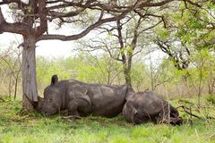 Sleeping Rhino Stock Photo