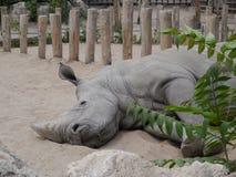 Sleeping rhino. Rhino sleeping in the zoo Stock Photos