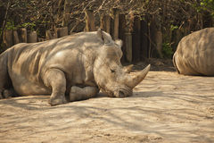Sleeping Rhinoceros. A Rhinoceros resting in the dirt royalty free stock photography