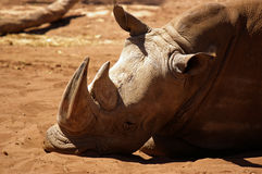 Sleeping rhinoceros. A rhinoceros sleeping under the hot sun royalty free stock photos