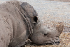 Sleeping Rhinoceros Stock Images