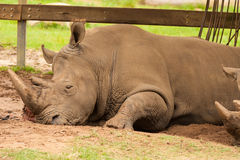 Sleeping rhinoceros. A rhinoceros having a quiet time in a corner.  We can see a part of another rhino next to him Stock Image
