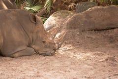 Sleeping Rhinoceros Royalty Free Stock Image