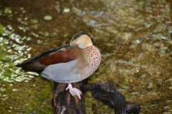 Sleeping Ring Teal Duck on branch in stream Royalty Free Stock Image