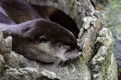 Sleeping River Otter Royalty Free Stock Photo