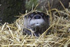 Sleeping River Otter Stock Photos