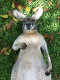 Sleeping Roo Royalty Free Stock Images