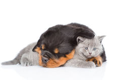 Sleeping rottweiler puppy embracing cute kitten. Isolated on whi Stock Image