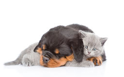 Sleeping rottweiler puppy embracing cute kitten. Isolated on white Stock Images