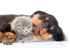 Sleeping rottweiler puppy huging cute kitten. Isolated on white.  stock image