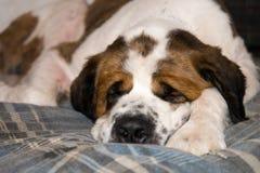 Sleeping Saint Benard Dog. A St. Bernard dog sleeps in a blue plaid dog bed Royalty Free Stock Images