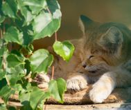 Sleeping sand cat royalty free stock images