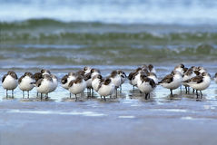 Sleeping Sanderlings (Calidris alba) Royalty Free Stock Photography
