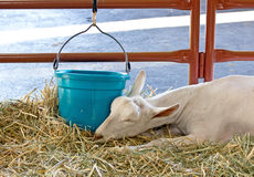 Sleeping Sannen Alpine Dairy Goat Royalty Free Stock Photography