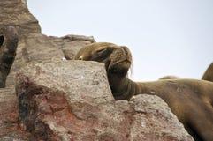 Sleeping Sea Lion. A Sea Lion Sleeps on a Rock at Isla Ballestas in Peru Royalty Free Stock Photo