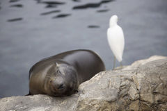 Sleeping sea lion. A cute sea lion sleeping on the rocks with a white bird by its side Royalty Free Stock Image