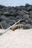 Sleeping Sea Lion Royalty Free Stock Photos