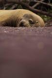 Sleeping Sea Lion. A sea lion on the beach Stock Image