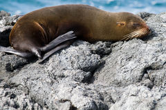 Sleeping Sea Lion. In the Galapagos Islands Royalty Free Stock Image