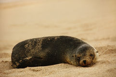 Sleeping Sea Lion. A super cute sea lion taking a nap. Photographed at the Galapagos Islands Royalty Free Stock Photo