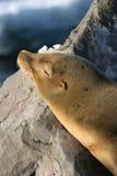 Sleeping Sea Lion. Sea lion sleeping on rocks Stock Image