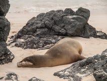 Sleeping Sea Lion. On beach surrounded by black lava rock in Galapagos Islands, Ecuador Royalty Free Stock Photos
