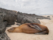 Sleeping Sea Lion. On beach surrounded by black lava rock in Galapagos Islands, Ecuador Royalty Free Stock Photo