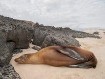 Sleeping Sea Lion Royalty Free Stock Photo