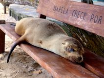 Sleeping sea lion Stock Photos