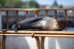 Sleeping Sea Lion on a bench, Galapagos Islands Stock Image